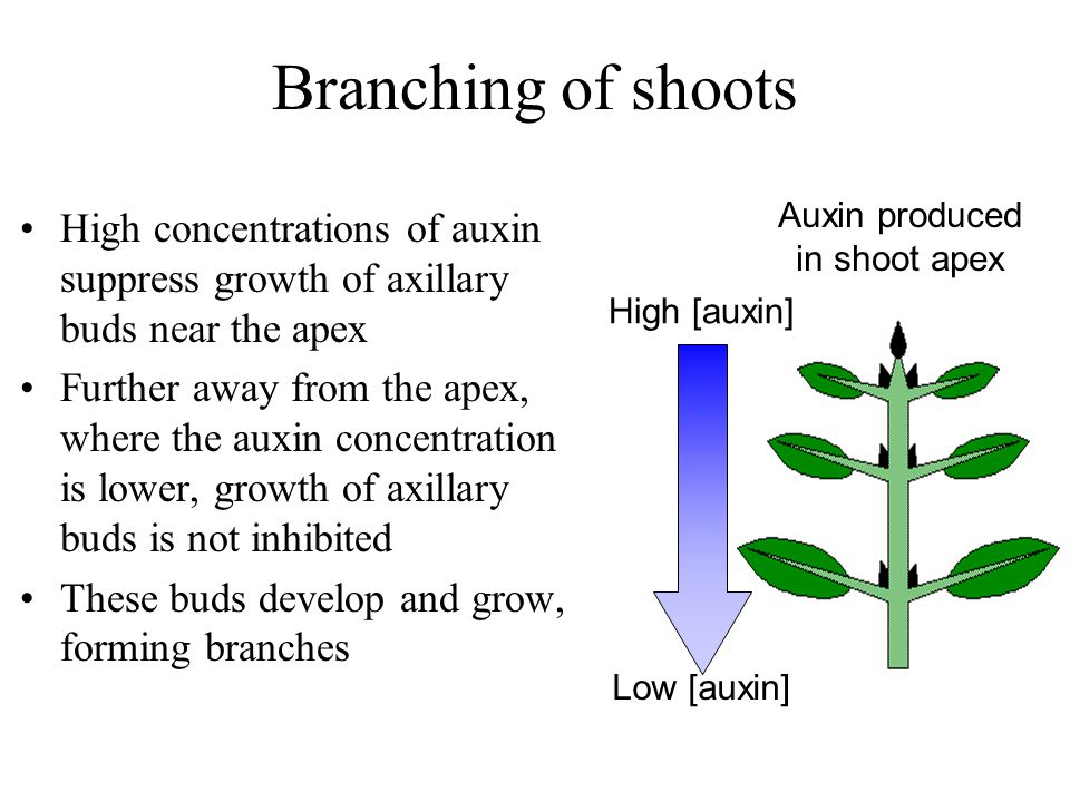Branching of shoots Auxin produced. in shoot apex. High [auxin] Low [auxin]